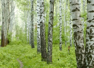 Birch grove with bright leafs and grass