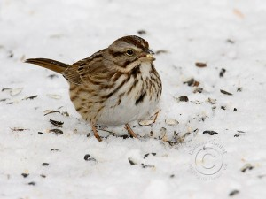 white-throated-sparrow-1